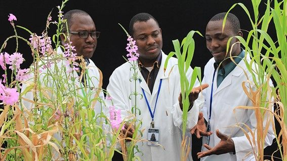 Philippe Nikiema, a researcher at Burkina Faso's Institute for the Environment and Agricultural Research explains his results on the new sorghum lines resistant to Striga to fellow colleagues at the Joint FAO/IAEA Plant Breeding and Genetics Laboratory in Seibersdorf, Austria. (Photo: A. Ghanim/IAEA)